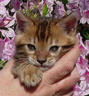 Bengal Kittens Bengal Cats Bengal Cat Breeder & Bengal